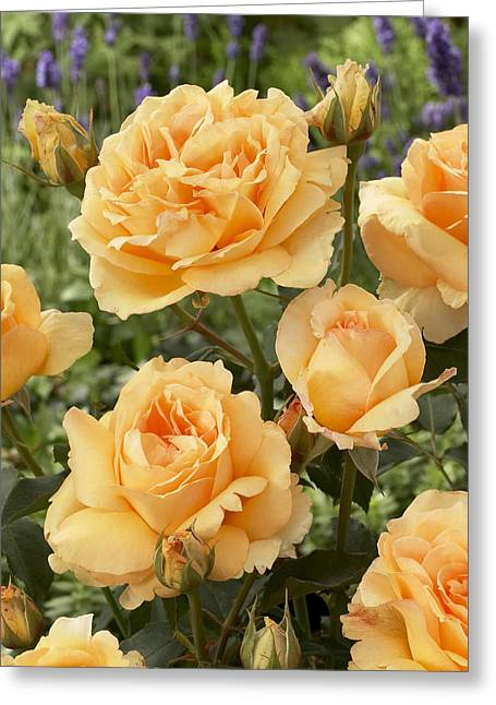 Rosa Sp. Greeting Cards - Rose Rosa Sp Solo Mio Renaissance Greeting Card by VisionsPictures