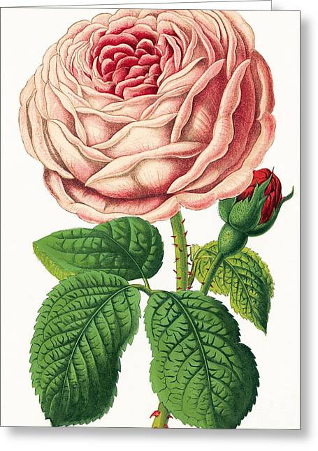Rosa Sp. Greeting Cards - Rose Greeting Card by Sheila Terry