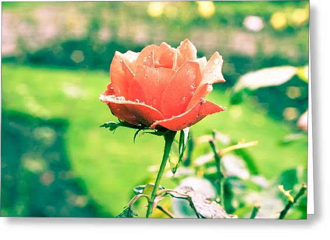 Droplet Greeting Cards - Rose Greeting Card by Tom Gowanlock