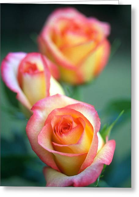 Rose Photos Greeting Cards - Rose Trio Greeting Card by Kathy Yates