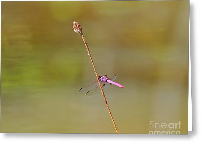 Dragon Fly Photo Greeting Cards - Roseate Skimmer Greeting Card by Al Powell Photography USA