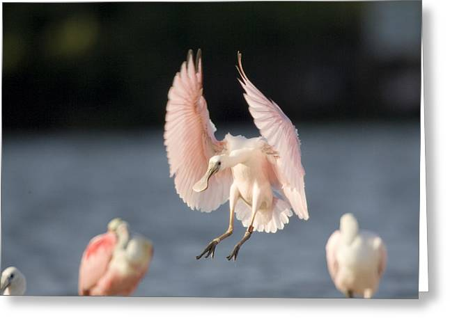 Flying Animal Greeting Cards - Roseate Spoonbill Ajaia Ajaja Comes Greeting Card by Tim Laman