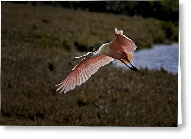 Wildlife Photograph Greeting Cards - Roseate Spoonbill in Flight - Florida Wading Bird Scenic Photograph Greeting Card by Rob Travis