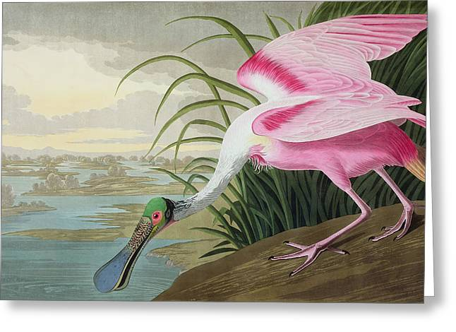 Wild Life Greeting Cards - Roseate Spoonbill Greeting Card by John James Audubon
