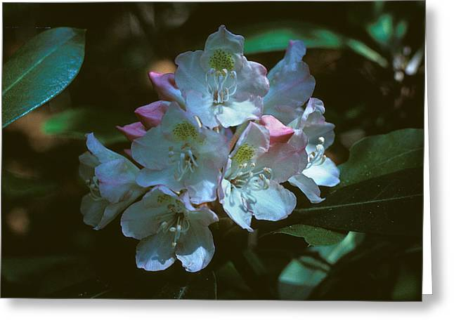 Rhodendron Greeting Cards - Rosebay Rhododendron 3B Greeting Card by Gerry Gantt