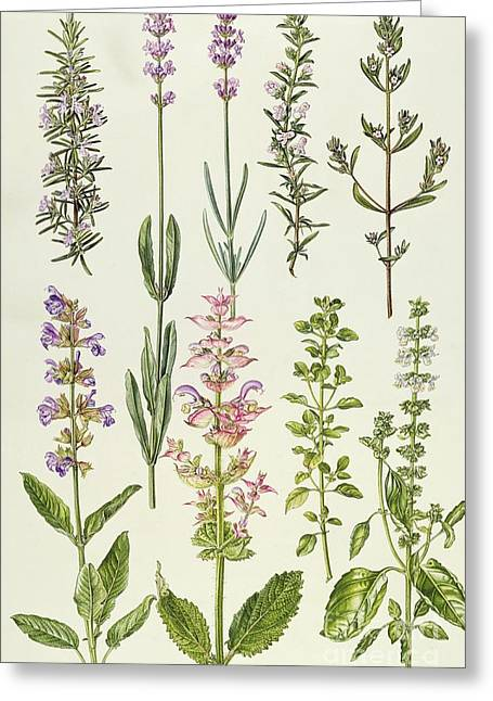 Rosemary Greeting Cards - Rosemary and other herbs Greeting Card by Elizabeth Rice