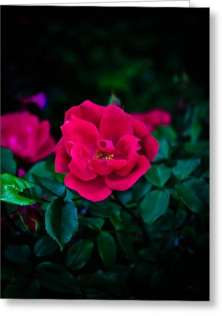 Swift Family Greeting Cards - Roses are Fuchsia Greeting Card by Swift Family