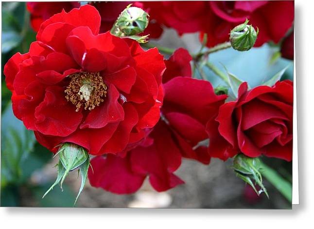 Queen Pyrography Greeting Cards - Roses Are Red Greeting Card by Valia Bradshaw