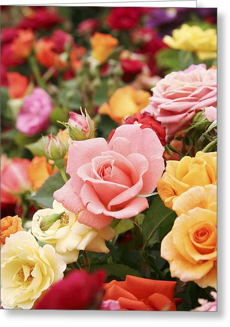 Rosa Sp. Greeting Cards - Roses Greeting Card by Cordelia Molloy