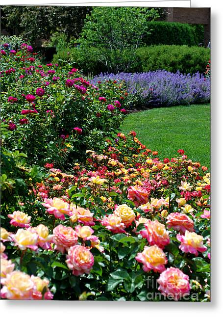 Chicago Botanic Garden Greeting Cards - Roses in Bloom Greeting Card by Nancy Mueller