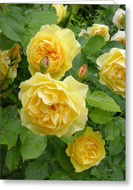 Rosa Sp. Greeting Cards - Roses (rosa Sp.) Greeting Card by Tony Craddock