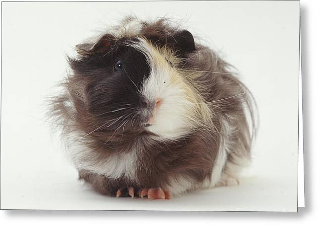 Cavy Greeting Cards - Rosetted Abyssinian Guinea Pig Greeting Card by Jane Burton
