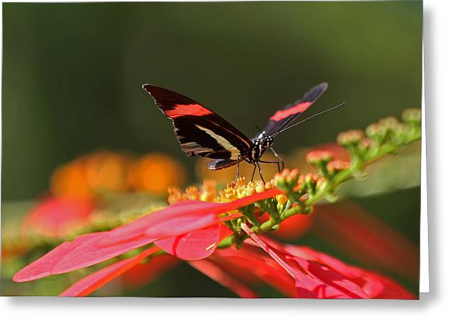 Rosina Butterfly Greeting Card by Juergen Roth