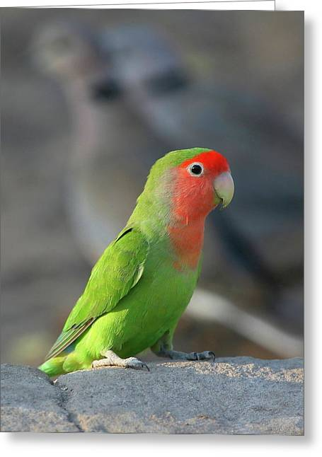 Rosy-faced Lovebird Greeting Cards - Rosy-faced Lovebird Greeting Card by Bruce J Robinson