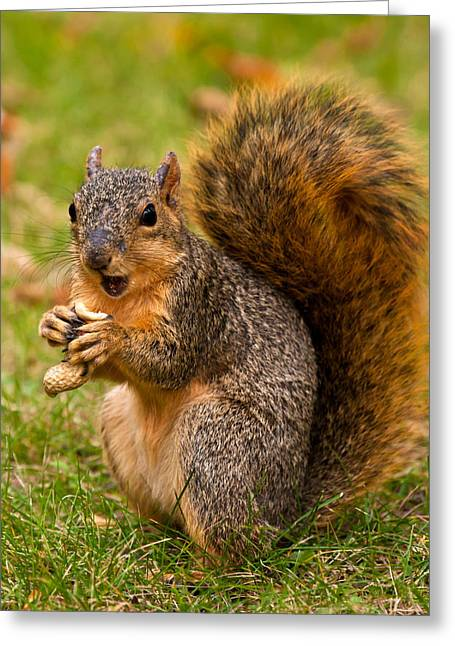 Fox Squirrel Greeting Cards - Rough Around The Edges  Greeting Card by James Marvin Phelps