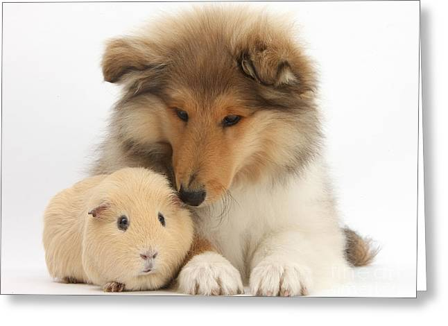 House Pet Greeting Cards - Rough Collie Pup And Yellow Guinea Pig Greeting Card by Mark Taylor