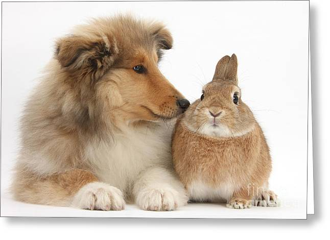 House Pet Greeting Cards - Rough Collie Pup With Rabbit Greeting Card by Mark Taylor