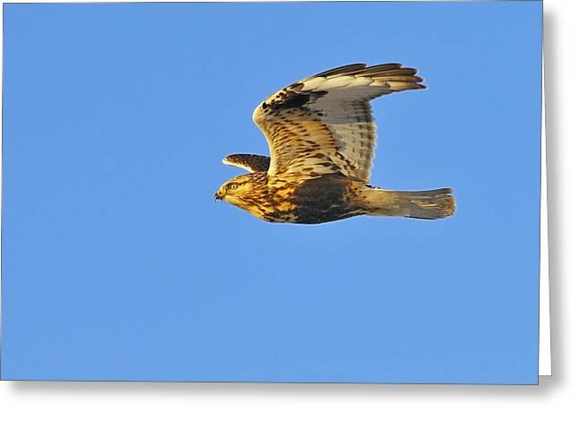 Rough-legged Hawk Greeting Card by Tony Beck