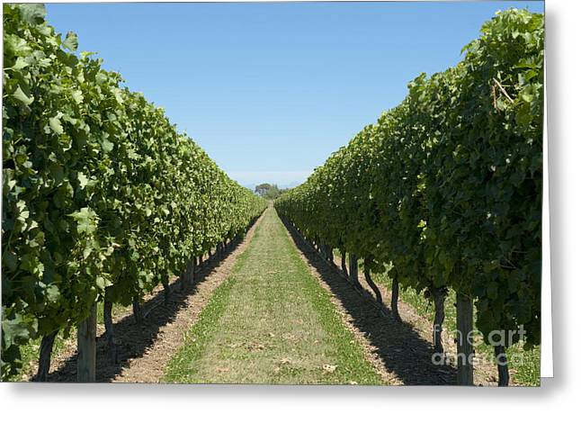 Grapevine Leaf Greeting Cards - Row of Grapevines in Vineyard Greeting Card by Dave & Les Jacobs