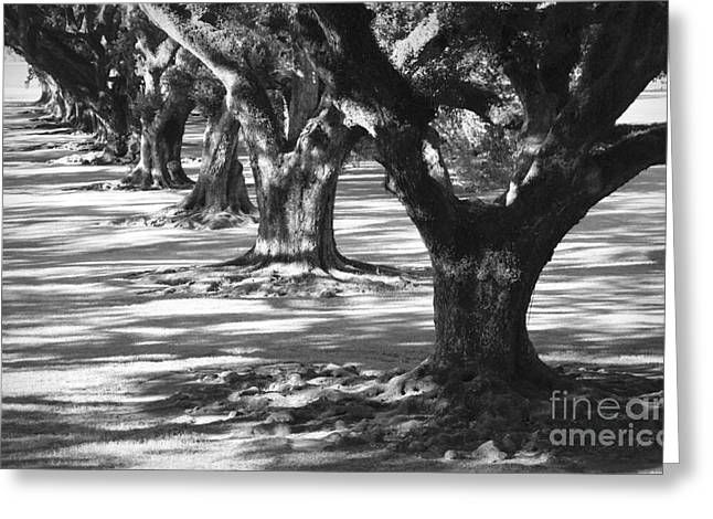 Southern Oak Trees Of The Old South Greeting Cards - Row of Oaks - Black and White Greeting Card by Carol Groenen