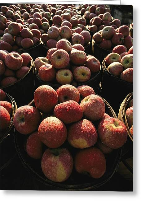 Harpers Ferry Greeting Cards - Rows Of Apples Glisten With Morning Dew Greeting Card by Stephen St. John