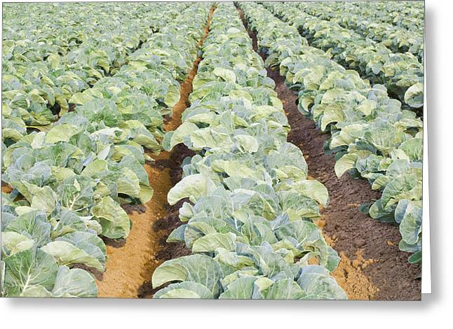 Fresh Produce Greeting Cards - Rows Of Cauliflowers Growing In Field Greeting Card by Bryan Mullennix
