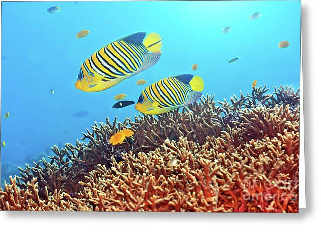 Reef Fish Photographs Greeting Cards - Royal angelfishes Greeting Card by MotHaiBaPhoto Prints