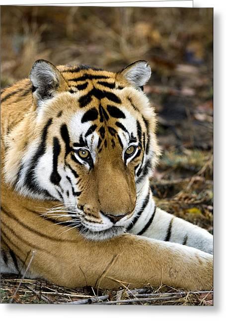 Panthera Tigris Greeting Cards - Royal Bengal Tiger Greeting Card by Tony Camacho