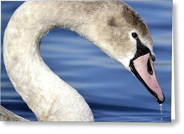 Muted Greeting Cards - Royal Bird Greeting Card by Fraida Gutovich