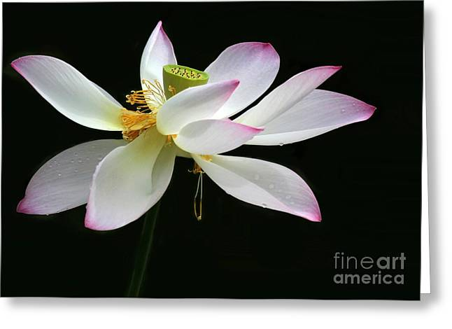 Water Garden Greeting Cards - Royal Lotus Greeting Card by Sabrina L Ryan