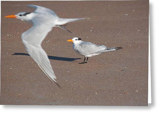 Tern Greeting Cards - Royal Tern 2 Greeting Card by Kenneth Albin