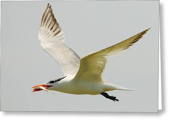 Royal Tern Greeting Card by Andrew McInnes