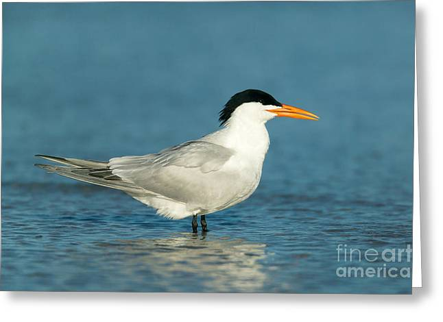 Tern Greeting Cards - Royal Tern Greeting Card by Clarence Holmes