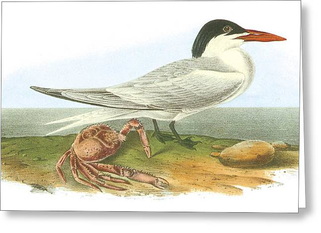 Tern Paintings Greeting Cards - Royal Tern Greeting Card by John James Audubon