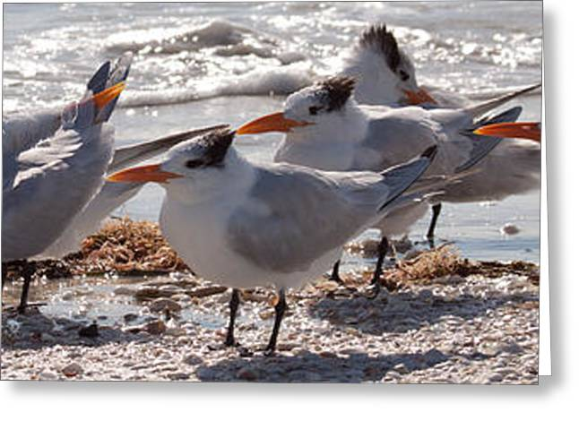 Forida Greeting Cards - Royal Terns Greeting Card by MJ Cadle