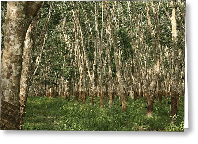 Brasiliensis Greeting Cards - Rubber Trees (hevea Brasiliensis) Greeting Card by Bjorn Svensson