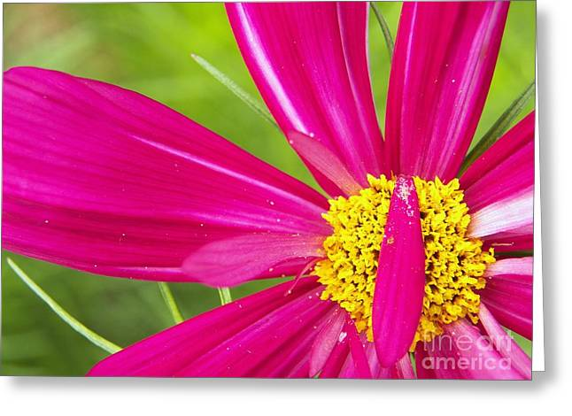 Fushia Greeting Cards - Ruby Cosmo Greeting Card by Judy Via-Wolff