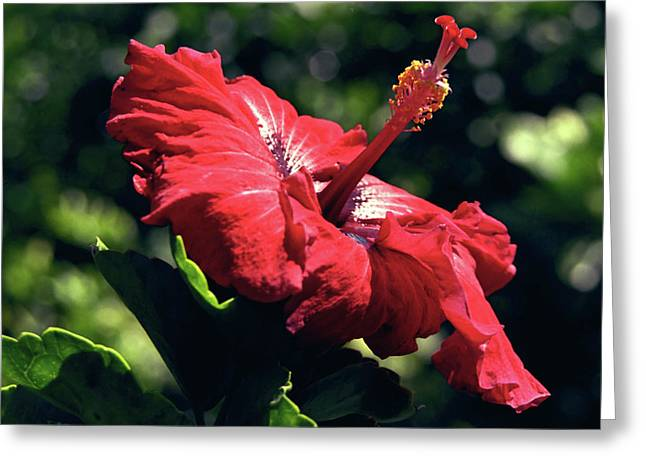 Kevin W. Smith Greeting Cards - Ruby Red Hibiscus Greeting Card by Kevin Smith