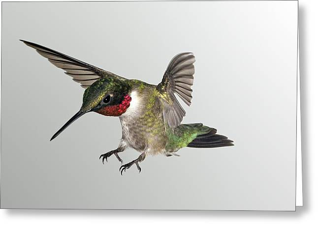 Ruby Throat Landing Greeting Card by Gregory Scott