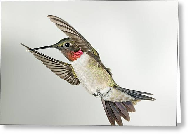 Ruby Throated Hummingbird Greeting Card by Gregory Scott