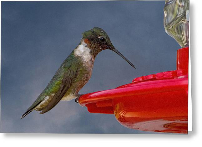 Michael Friedman Greeting Cards - Ruby-Throated Hummingbird Greeting Card by Michael Friedman