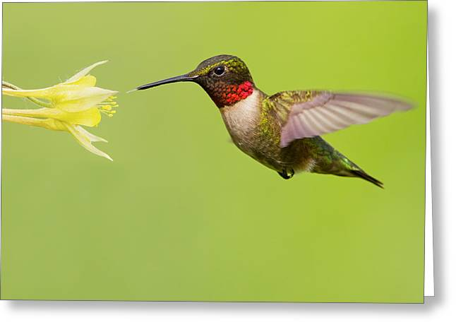 Ruby Throat Greeting Cards - Ruby-Throated Hummingbird Greeting Card by Mircea Costina Photography