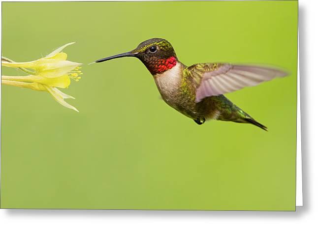 Ruby-Throated Hummingbird Greeting Card by Mircea Costina Photography
