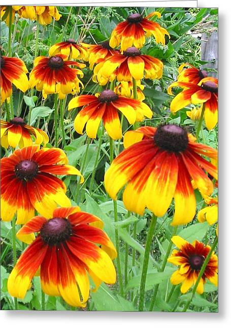 From Seed Greeting Cards - Rudbeckia Cappuccino Greeting Card by Karen Sloan
