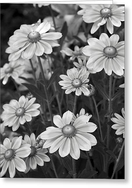 Michael D Friedman Greeting Cards - Rudbeckia Hirta Greeting Card by Michael Friedman