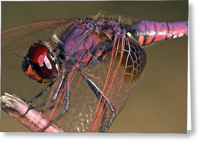 Ruddy Greeting Cards - Ruddy Darter Dragonfly Greeting Card by Paul Harcourt Davies