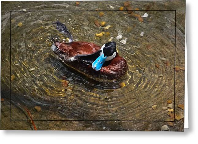 Ruddy Greeting Cards - Ruddy Duck With an Itch Greeting Card by DigiArt Diaries by Vicky B Fuller