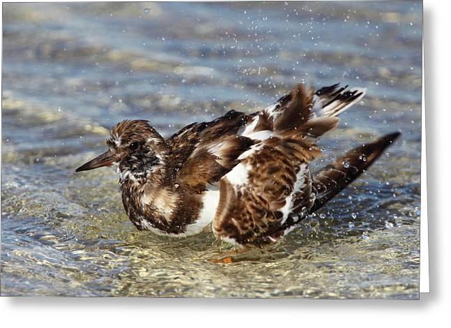 Ruddy Greeting Cards - Ruddy Turnstone Bathing Greeting Card by Bruce J Robinson