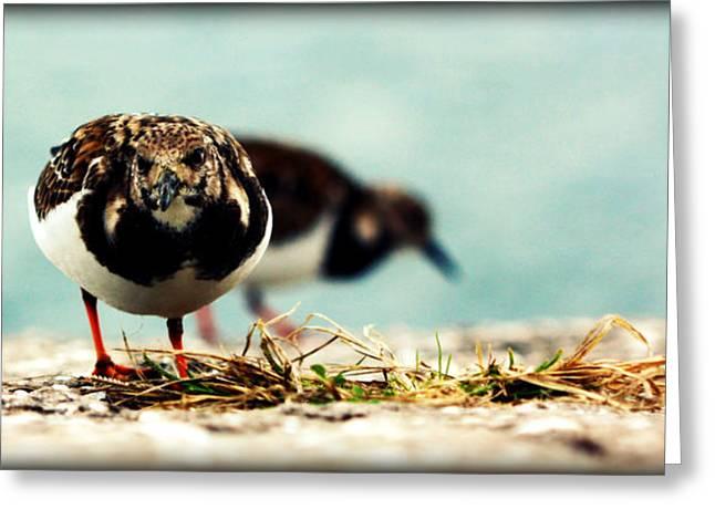 St Petersburg Florida Greeting Cards - Ruddy Turnstone Seabird Greeting Card by Susie Weaver