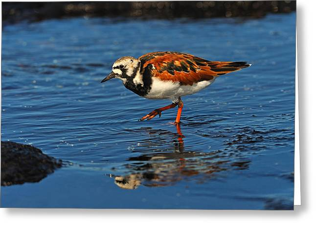 Ruddy Greeting Cards - Ruddy Turnstone Greeting Card by Tony Beck